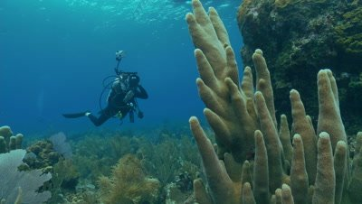 Pillar coral,a slow growing,long lived species,diver,threatened species
