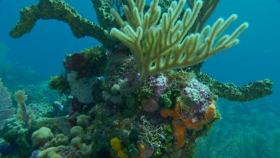 Sponges,green finger sponge and soft corals attached to rock