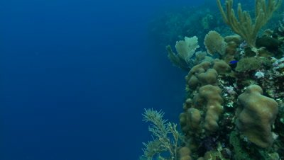 Coral wall,pan into deep blue water,beautiful underwater scenic