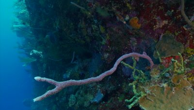 Coral reef wall,vertical corals,beautiful colors,beautiful underwater scenic