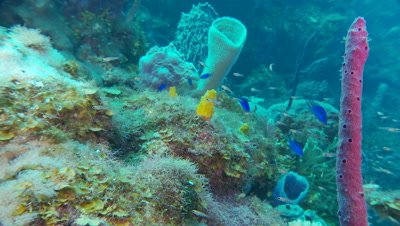 Sponges and tiny fish,pan up colorful sponges to ledge and more sponges,beautiful underwater scenic
