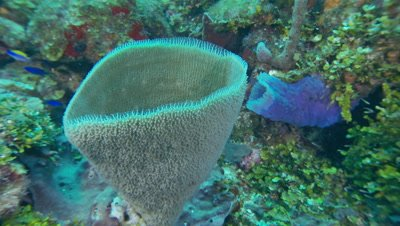 Sponges,branching vase sponge,beautiful shape,beautiful underwater scenic