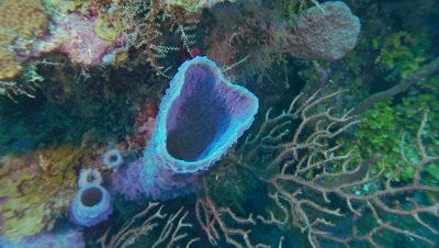Sponges,azure vase sponges,pan across openings,back out,soft corals,sea fans,beautiful underwater scenic