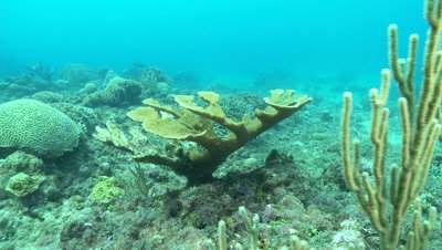 Elkhorn coral swim around soft corals,critically endangered