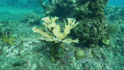 Elkhorn coral swim around,critically endangered
