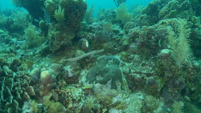 Trumpetfish hunting over a croal reef