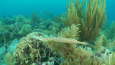 Trumpetfish swimming over coral reef,hunting between soft and hard corals