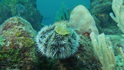Sea urchin,white sea urchin crawls over rocks