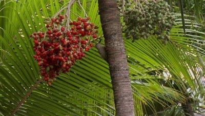 Yucatan woodpecker on palm tree grabbing berries