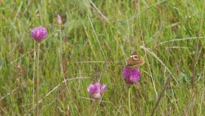 Butterfly feeds on purple onion, common buckeye