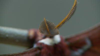 Ceanothus silk moth, close up antenne