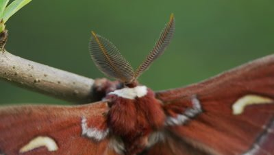 Ceanothus silk moth, head and back, opens and closes wings
