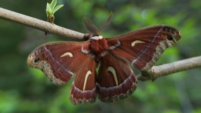 Ceanothus silk moth, opens and closes wings