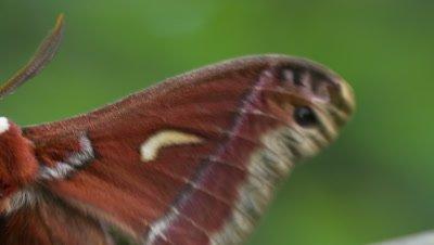 Ceanothus silk moth, start at flickering wings, pan to antenna