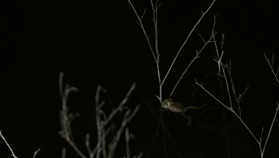 Pacific Chorus Frog, extended bellows, calling out at night