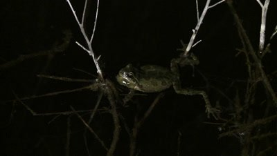 Pacific Chorus Frog, resting in pond, holding onto a stick