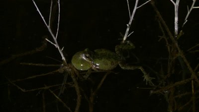 Pacific Chorus Frog, extended bellows, actively calling out at night