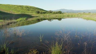 Frog habitat in Central California, man-made pond