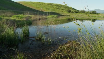 Frog habitat in Central California, Man-made pond