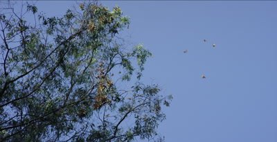 Monarch butterflies, hundreds flying, landing in tight clusters