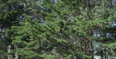 Monarch butterflies, estimated 14,000 insects in cedar trees
