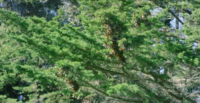 Monarch butterfly's congregate on cedar branches, 48fps