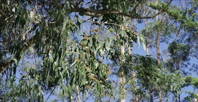 Monarch butterfly sun themselves on eucalyptus tree