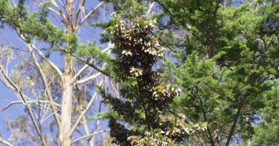 Monarch butterfly by the thousands resting on cedar branch