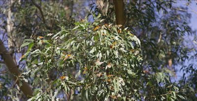 Monarch butterfly catch sun while resting on eucalyptus branch