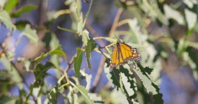 Monarch butterfly sits on eucalyptus leaf, breezy
