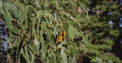 Monarch butterfly resting near lens, flies off, habitat background