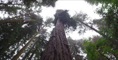 Redwood trees, old growth trees, falling rain