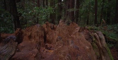 Redwood forest, pan across fallen tree