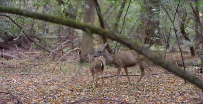 Mother black tailed deer licks her fawn, redwood forest