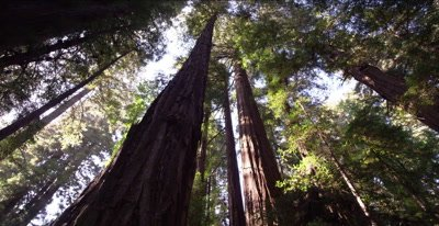 Redwood forest, old growth trees, twisting pan looking upward