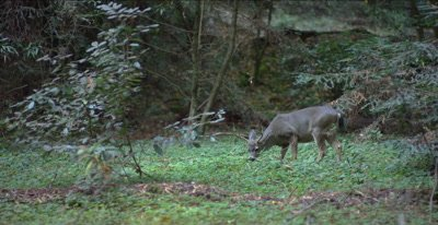 Black tailed deer buck feeding, redwood forest trail