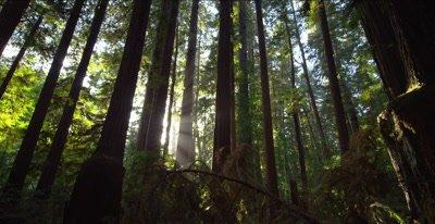 Redwood forest floor, pan upward to streaking sunlight behind trees