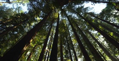 Redwood forest, looking upward, pan across tree tops