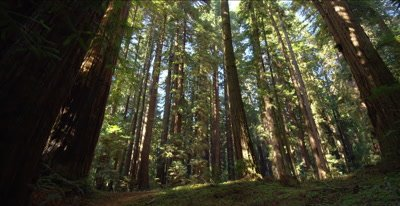 Redwood forest trail, dozens of tall trees