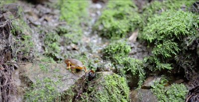 California newt hunting, walks across small creek