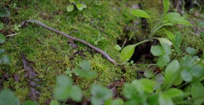 Earthworm moves across moss, redwood forest