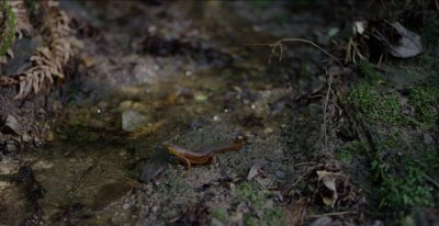 California newt after eating earthworm turns, departs