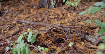 California giant salamander stares into lens