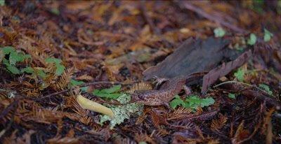 California giant salamander watches banana slug slither away