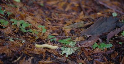 California giant salamander watches banana slug depart