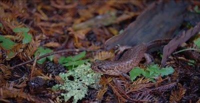 California giant salamander, stationary, side view