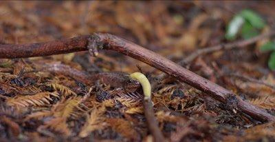 California giant salamander has banana slug slither over its head