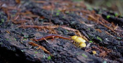 Yellow-eyed ensatina salamander walking by mushrooms