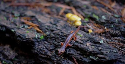 Yellow-eyed ensatina salamander walking over log