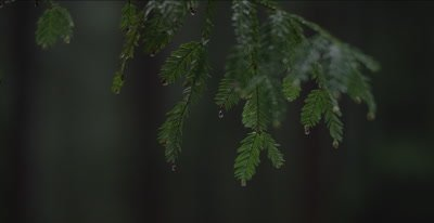 Redwood forest rain drips down leaves on one branch